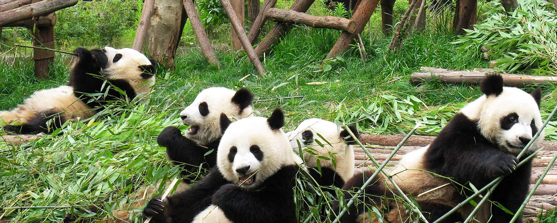 Chengdu Panda and Yangtze Cruise Tour
